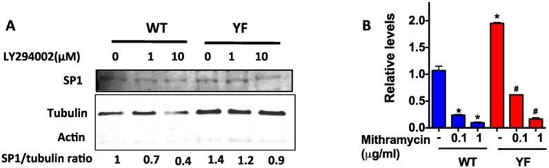 Sp1 mediated transcription of SDF-1. A. Nuclear protein from cells treated with LY294002 for 3 h at different concentrations was subjected to Western blotting. Blot was probed with antibody for SP1. The blot was stripped and reprobed for actin (in cytoplasm) and tubulin (in nucleus) to show the relative absence of cytoplasmic proteins in the nuclear lysate. Sp1/tubulin ratio is shown below the Western blot. B. Cells were treated with Mithramycin (inhibits Sp1 binding to GC-rich DNA) at indicated concentrations for 3 h and SDF-1 mRNA levels were determined by qRT-PCR analysis. Values are shown as relative to untreated WT cells. * A representative of 3 independent experiments is shown and P value of