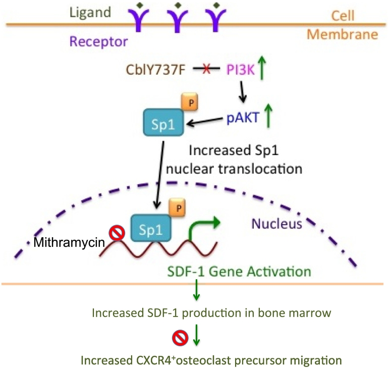 Proposed model depicting the role of PI3K/AKT/Sp1 axis on SDF-1 expression in CAR cells and the effect of increased SDF-1 levels on osteoclast precursor migration in response to increased PI3K activation. Loss of Cbl-PI3K interaction results in increased PI3K activity, which leads to increased phosphorylation of AKT. Sp1, an important substrate of PI3K is activated, translocated to the nucleus and binds to the SDF-1 promoter regions to activate SDF-1 transcription in CAR cells. Sp1 binding to SDF-1 promoter regions is inhibited by Mithramycin treatment resulting in decreased SDF-1 transcription to a lesser extent in YF cells compared to wild type cells due to increased Sp1 activation in YF cells. Increased SDF-1 gene expression leads to increased SDF-1 protein levels, which stimulate migration of osteoclast precursors expressing SDF-1 receptor, CXCR4. AMD3100 blocks CXCR4 activation by SDF-1 and prevents osteoclast precursor migration, to a lesser extent in YF cells compared to wild type cells. Increased osteoclast precursor migration might lead to increased recruitment to the bone marrow milieu finally contributing to increased number of osteoclasts in YF mice lacking Cbl-PI3K interaction.