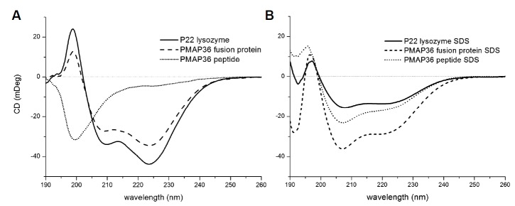 Secondary structure CD spectra of the P22 lysozyme (straight line), PMAP36-P22 lysozyme fusion protein (dash) and PMAP36 peptide (dot) in PBS (A) and 1% SDS (B). The concentration of all proteins and peptide were 0.5 mg/ml.