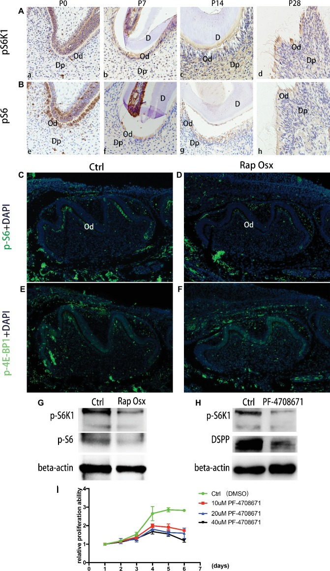 Phosphorylation capacity of pS6K1 decreased after Raptor deficiency. (A) Detection of phosphorylation levels of pS6K1 in the mandibular first molar was performed by immunohistochemistry staining at P0 (a), P7 (b), P14 (c), and P28 (d). (B) Detection of the phosphorylation levels of pS6 in the mandibular first molar was performed at P0 (e), P7 (f), P14 (g), and P28 (h). (C,D) Detection of phosphorylated S6 in the mandibular first molar at P0. (E,F) Detection of phosphorylated 4E-BP1 in the mandibular first molar at P0. DP, dental pulp; OB, odontoblasts; D, dentin. (G) Protein expression levels of p-S6K1 and <t>p-S6</t> in WT and mutant mice. (H) The DSPP expression level decreased by the S6K1 inhibitor. (I) PF-4708671 inhibited the proliferation of dental mesenchymal cells from WT mice.