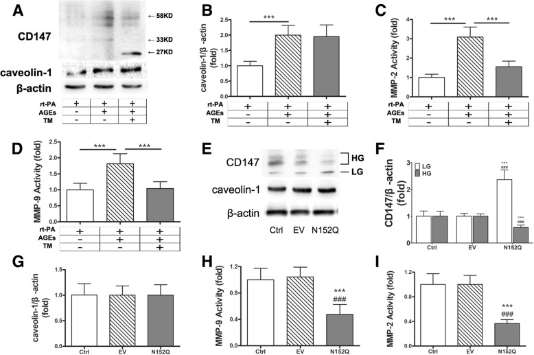 Highly glycosylated CD147 promotes MMPs activity in primary astrocytes. a Representative immunoblots of CD147 and caveolin-1 in AGEs and tunicamycin-treated primary astrocytes. b Densitometric quantification results of caveolin-1. c , d MMP-2/9 activity in the conditioned media. One asterisk (*) represents P