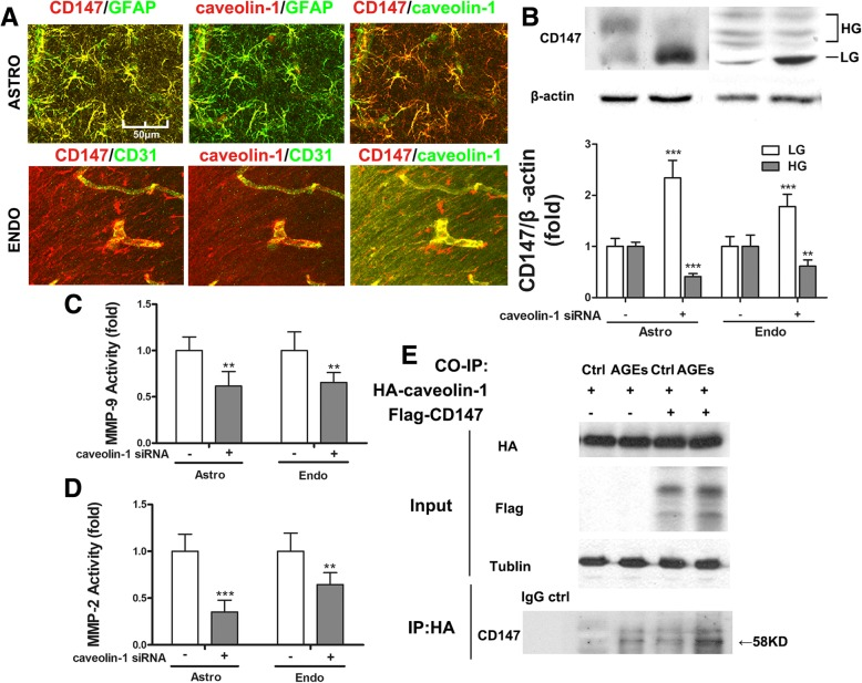 Caveolin-1 binds to CD147 and upregulates its glycosylation. a CD147 and caveolin-1 co-localize in astrocytes and endothelium. b Caveolin-1 silencing by siRNA downregulates HG-CD147 in astrocytes and endothelial cells treated with AGEs and rt-PA. c , d Decrease of HG-CD147 reduces MMPs activities. Data expressed as mean ± SD and analyzed by one-way ANOVA test. One asterisk (*) represents P