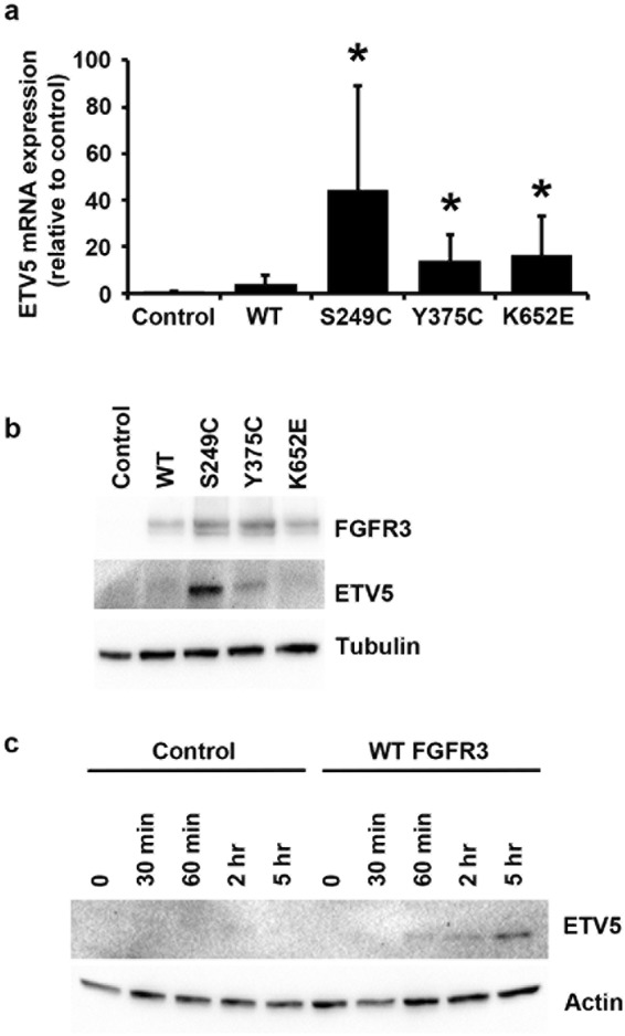 FGFR3-mediated regulation of ETV5 expression. ( a ) ETV5 mRNA and ( b ) ETV5 and FGFR3 protein levels in confluent TERT-NHUC with exogenous overexpression of wildtype (WT) or three types of mutant FGFR3 (S249C, Y375C, and K652E), and in control cells transduced with an empty vector (Control); ( c ) ETV5 protein levels following FGF1 treatment of TERT-NHUC overexpressing wildtype (WT) FGFR3 and of control cells transduced with the empty vector (Control). ETV5 mRNA was relatively quantified using Taqman Real-Time RT-PCR with SDHA as internal control, while ETV5 and FGFR3 proteins were visualized by western blotting with specific antibodies using alpha-tubulin or beta-actin as loading control. All experiments were repeated in triplicate. '*' indicates a statistical significant difference compared with the control sample.