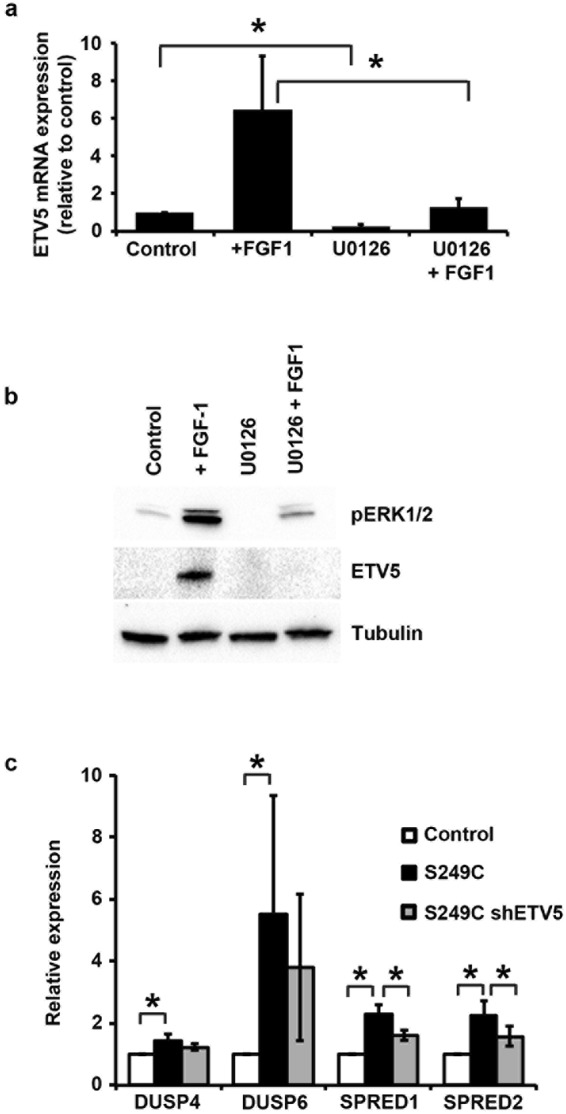 Regulation of ETV5 expression through MAPK/ERK. ( a ) ETV5 mRNA and ( b ) ETV5 and pERK1/2 protein levels in cells overexpressing wildtype FGFR3 stimulated for 5 hours with FGF1, with or without pre-treatment with the MAPK inhibitor U0126. 'Control' are unstimulated cells, '+ FGF1' are cells stimulated with FGF1, 'U0126' are unstimulated cells treated with U0126, and 'U0126 + FGF1' are cells stimulated with FGF1 following 1 hour pre-treatment with U0126; ( c ) Expression of MAPK/ERK regulatory genes in TERT-NHUC with overexpressed mutant (S249C) FGFR3, compared with control cells transduced with the empty vector (Control) and cells with overexpressed S249C FGFR3 but silenced ETV5 (S249C shETV5). mRNA expression levels were relatively quantified using Taqman Real-Time RT-PCR with SDHA as internal control, while ETV5 and pERK1/2 proteins were visualized by western blotting with specific antibodies using alpha-tubulin as loading control. All experiments were repeated in triplicate. ETV5 silencing was performed using the sh155 hairpin. '*' indicates a statistical significant difference between samples.
