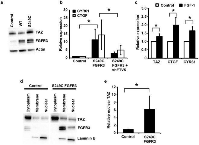 TAZ activity is altered in urothelial cells after FGFR3 or ETV5 modulation. ( a ) TAZ and FGFR3 protein expression in confluent TERT-NHUC cells overexpressing wildtype (WT) and S249C FGFR3, and in cells transduced with the empty vector (control); ( b ) CTGF and CYR61 levels in confluent TERT-NHUC expressing the S249C FGFR3 mutation (S249C), cells expressing the S249C FGFR3 mutation but with ETV5 knockdown (S249C shETV5), and cells transduced with the empty vector (Control); ( c ) TAZ, CTGF and CYR61 mRNA expression in sub-confluent TERT-NHUC overexpressing wild type FGFR3 five hours after stimulation with FGF1, compared to unstimulated control cells; ( d ) Representative blot showing TAZ protein levels in cytoplasmic, membrane and nuclear sub-fractions of confluent TERT-NHUC cells overexpressing S249C FGFR3 and control cells transduced with the empty vector; ( e ) Quantification of TAZ nuclear protein levels in confluent TERT-NHUC overexpressing S249C FGFR3 relative to control cells transduced with the empty vector. Values were adjusted for overall TAZ expression (calculated as the sum of expression in the different cellular fractions), to account for the higher overall expression in FGFR3 mutant cells. mRNA expression levels were relatively quantified using Taqman Real-Time RT-PCR with SDHA as internal control, while TAZ protein level was visualized by western blotting with a specific antibody, using actin or laminin B1 as loading or fractionation control. All experiments were repeated in triplicate. '*' indicates a statistically significant difference between samples.