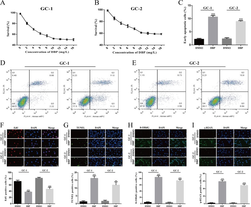 DBP induces apoptosis, proliferation inhibition and DNA damage in germs. a , b Cell viability was detected by CCK-8 proliferation assay in GC-1 ( a ) and GC-2 ( b ) cells after treated with different concentrations of DBP. c – e Early apoptotic percentage was determined by flow cytometry in GC-1 ( d ) and GC-2 ( e ) cells after treated with DBP. f – i Representative immunofluorescence (IF) images showing the number of EdU- ( f ), TUNEL- ( g ), 8-OHdG- ( h ), and γ-H2AX ( i ) -positive cells in GC-1 and GC-2 cells after treated with DBP. Scale bar, 20 μm. All measurements are shown as the means ± SD from three independent experiments, ** p