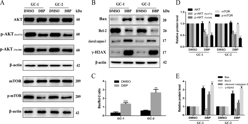 AKT pathway is downregulated in DBP-treated germ cells. a Representative WB images showing the protein levels of AKT, p-AKT (Ser473), p-AKT (Thr308), mTOR, p-mTOR in GC-1, and GC-2 cells after treated with DBP. Protein loading is indicated by β-actin. b Representative WB images showing the protein levels of Bax, Bcl-2, cleaved caspase-3, and γ-H2AX in GC-1 and GC-2 cells after treated with DBP. Protein loading is indicated by β-actin. c Quantitative analysis of Bax/Bcl-2 ratio for Fig. 3b . d Quantitative analysis for Fig. 3a . e Quantitative analysis for Fig. 3b . All measurements are shown as the means ± SD from three independent experiments, *** p