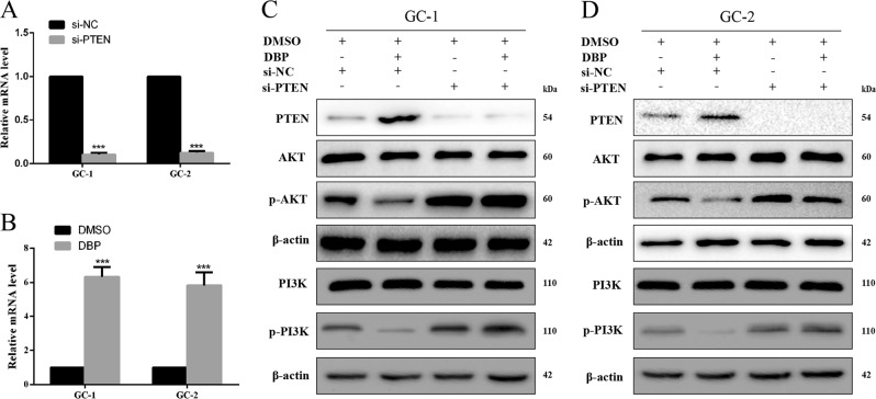 DBP-mediated AKT activity by regulating PTEN expression in germ cells. a qRT-PCR was used to detect the efficiency of PTEN knockdown in GC-1 and GC-2 cells. b qRT-PCR was used to detect PTEN expression after treated with DBP in GC-1 and GC-2 cells. c , d GC-1 ( c ) and GC-2 ( d ) cells were transfected with PTEN siRNA or treated with DBP alone, and together, respectively. And then samples were analyzed for PTEN, AKT, p-AKT, PI3K, and p-PI3K expression. All measurements are shown as the means ± SD from three independent experiments, **** p