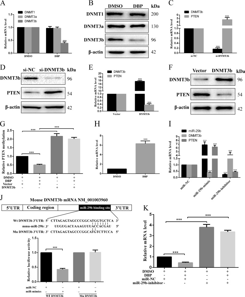 miR-29b and DNMT3b are required for DBP-induced PTEN demethylation. a DNMT1, DNMT3a and DNMT3b were detected using qRT-PCR in GC-2 cells after treated with DBP. b Representative WB images showing the expression of DNMT1, DNMT3a, and DNMT3b in GC-2 cells after treated with DBP. c , d qRT-PCR ( c ) and WB ( d ) results showed the expression of DNMT3b and PTEN in the treatment of si-NC or si-DNMT3b in GC-2 cells. e , f qRT-PCR ( e ) and WB ( f ) results showed the expression of DNMT3b and PTEN in GC-2 cells after DNMT3b overexpression. g Percentage of methylation for the CpG island of PTEN in GC-2 cells in the treatment of DMSO, DBP, vector, or DNMT3b overexpression. h miR-29b expression was detected by qRT-PCR in GC-2 cells after treated with DBP. i qRT-PCR showed the expression of miR-29b, DNMT3b, and PTEN in the treatment of miR-NC, miR-29b-mimic, or miR-29b-inhibitor in GC-2 cells. j The position of the binding sites was numbered relative to the first nucleotide of the 3′-UTR. Mutations were introduced into DNMT3b 3′-UTR that matched the seed region of miR-29b as shown in DNMT3b Mu. Luciferase activity was detected using dual-luciferase assay in GC-2 cells co-transfected with luciferase constructs containing the DNMT3b Wt or Mu 3′-UTR and miR-29b mimics or scrambled oligonucleotides as the negative control. k qRT-PCR showed the expression of DNMT3b in the treatment of DMSO, DBP, miR-NC, or miR-29b-inhibitor. All measurements are shown as the means ± SD from three independent experiments, **** p