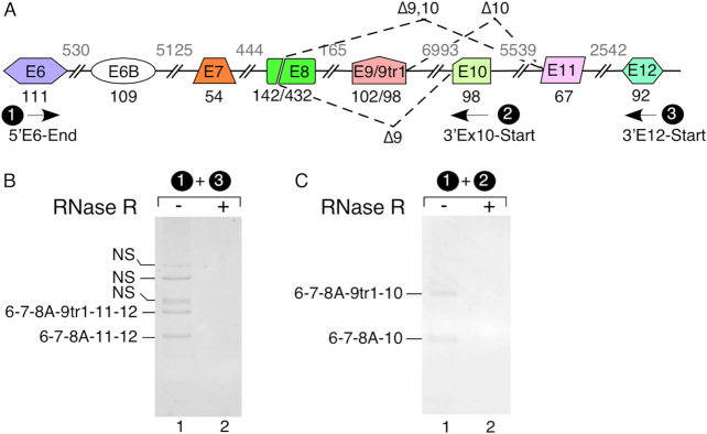 Linear SMN transcripts showing inclusion of novel exons 9, 10, 11 and 12. ( A ) An overview of the 3′ portion of the SMN pre-mRNA. Splicing events are indicated by dotted lines. Exons are depicted as colored shapes, and introns are shown as lines/broken lines. Exon sizes are indicated by numbers in black below exons and intron sizes are indicated by numbers in gray above introns. Names, assigned numbers and the locations of primers used to amplify linear SMN transcripts are presented. 'Δ' indicates SMN transcripts with skipped exon(s). ( B, C ) Detection of novel exons 9, 10, 11 and 12 without (−) and with (+) <t>RNase</t> R treatment. Primers used are shown at the top of each gel. After purification of total RNA, we isolated intact poly(A) + RNA using magnetic beads and generated <t>cDNA</t> employing oligo(dT) 12–18 primer. The identities of bands marked on the left of each gel were determined by cloning and sequencing. Abbreviations: NS, non-specific.