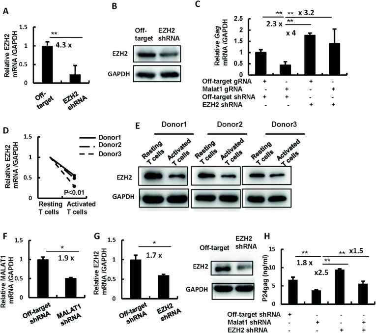 MALAT1 antagonizes EZH2-mediated silencing of viral gene transcription to promote HIV-1 replication. ( A–C ) MALAT1 restores HIV-1 infection by antagonizing EZH2-mediated inhibition. MALAT1-stably-knocking-out HEK293T cells were infected with lentivirus containing EZH2 specific shRNA or off-target controls for 48 h to further knockdown EZH2 expression, cells were then infected with HIV-luc/VSV-G for an additional 24 h. EZH2 knockdown was detected by RT-PCR (A) and western blot (B). Viral infection was detected by quantifying cell-associated HIV-1 gag mRNA (C). ( D and E ) EZH2 expression in primary CD4 + T cells. Resting CD4 + T cells (1 × 10 6 ) were stimulated with or without PHA-P (5 μg/ml) for 3 days, and the endogenous expression of EZH2 was detected by either RT-PCR (D) or western blot (E). ( F – H ) The double knockdown of MALAT1 and EZH2 rescues HIV-1 infection in primary CD4 + T cells. PHA-P-activated primary CD4 + T cells (1 × 10 6 ) were infected with lentiviruses containing MALAT1 or/and EZH2-specific shRNA or off-target controls for 48 h, then cells were infected with replication-competent HIV-1 NL4-3 for an additional 96 h. MALAT1 knockdown was determined by RT-PCR (F); the expression of endogenous EZH2 was detected by RT-PCR and western blot (G); viral replication was quantified by detecting p24 gag levels in the supernatants by ELISA (H). Data were presented as mean ± SD. Results were representative of three independent experiments. * P