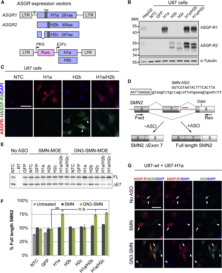 Ectopic Expression of ASGP-R1 in U87 Cells Increases Efficacy of GN3-SMN-ASO In Vitro (A) Major and minor transmembrane domain (TM)-containing ASGP-R isoform cDNAs were cloned into retroviral and lentiviral expression vectors as indicated. The lentiviral vector carries the selection marker puromycin. ASGP-R H2c has a short 18-amino acid deletion in the intracellular domain of the receptor. (B) Western blot confirms expression of major and minor ASGP-R isoforms in U87 glioblastoma cells. The expression level of H1a is approximately 6-fold higher than the endogenous expression level in HepG2 cells, normalized to tubulin. H2a and H2b isoforms are detectable when expressed alone, but are stabilized in the presence of H1a. (C) Micrographs of U87 cells expressing ASGPR-H1a and H2b alone, and in combination. Cells were stained for ASGP-R1 (red), ASGP-R2 (green), and DAPI (blue). Arrowheads indicate non-uniform distribution of ASGP-R H2b, consistent with ER localization. Scale bar, 50 μm. (D) The SMN ASOs used in this study bind to intron 7 of SMN2 and promote exon 7 inclusion. Full-length SMN2 mRNA was quantified by radioactive <t>RT-PCR;</t> the product was digested with <t>DdeI</t> to separate SMN1 from SMN2 products. (E) U87 cells expressing major and minor ASGP-R isoforms alone or in combination were incubated with 300 nM unconjugated (SMN-MOE) or GalNAc-conjugated SMN-MOE ASOs (GN3-SMN-MOE) for 5 days by free uptake. Representative radiograph shows full-length SMN2 (top band) and SMN2 Δ exon 7 (bottom band). (F) Quantification of full-length SMN2 in ASO-treated U87 cells. The differences among the means in the SMN group (p = 0.0055) and the GN3-SMN group (p