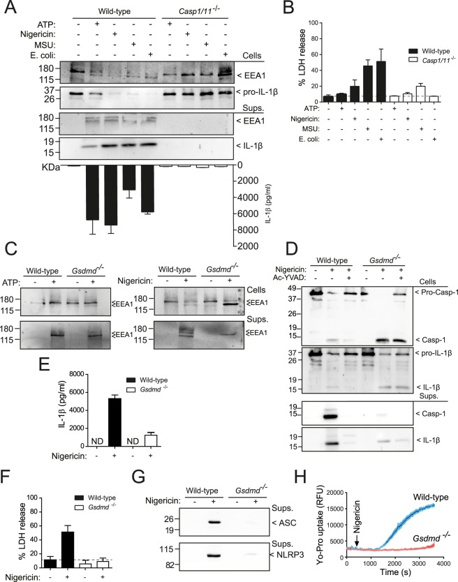 Gasdermin D pore formation and pyroptosis are not involved in EEA1 release. ( A ) Immunoblot analysis of EEA1 and IL-1β on cell lysate and cell-free supernatant from LPS-primed BMDMs from wild type or Casp1/11 −/− after stimulation with nigericin, ATP, E . coli or <t>MSU</t> crystals as indicated. IL-1β released to the extracellular medium was detected by ELISA (bottom). ( B ) LDH release from macrophages treated as in A. ( C ) Immunoblot analysis of EEA1 on cell lysate and cell-free supernatant from BMDMs wild-type and Gsdmd −/− after nigericin stimulation. ( D ) Immunoblot analysis of <t>caspase-1</t> and IL-1β on cell lysate and cell-free supernatant from wild-type or Gsdmd −/− BMDMs after nigericin stimulation in the presence or absence of the caspase-1 inhibitor Ac-YVAD. ( E , F ) ELISA for released IL-1β ( E ) or LDH ( F ) from macrophages treated as in D. ( G ) Immunoblot analysis of ASC and NLRP3 on cell-free supernatant from macrophages stimulated as in D. ( H ) Yo-Pro uptake in macrophages treated as in D. Blots are representative of three to four independent experiments. Nitrocellulose membranes were cropped after protein blotting and then inmunodetection was carried out separately for each antibody. Complete blots for IL-1β and Caspase-1 are showed as supplementary. Data are presented as average ± sem from n = 3 independent experiments.