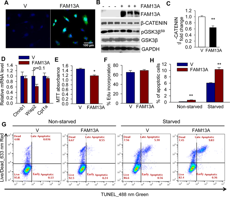 Overexpression of murine FAM13A impairs preadipocyte survival. a FAM13A immunofluorescent staining, scale bar, 100 μm. b western blot and c quantification of β-Catenin expression; d qPCR analysis; e MTT viability assay; f Edu incorporation in vector (V) and FAM13A-overexpressing lentivirus transduced 3T3-L1 preadipocytes. g The levels of apoptosis evaluated by FACS analysis following <t>APO-BrdU</t> <t>TUNEL</t> staining combined with LIVE/DEAD cell staining in vector (V) and FAM13A-overexpressing lentivirus transduced 3T3-L1 preadipocytes with or without 24 h serum starvation. The picture shows one of the three experiments. h Numerical results of early and late apoptotic cells from FACS analysis. Values are presented as mean±SEM in 3 separate experiments *: p