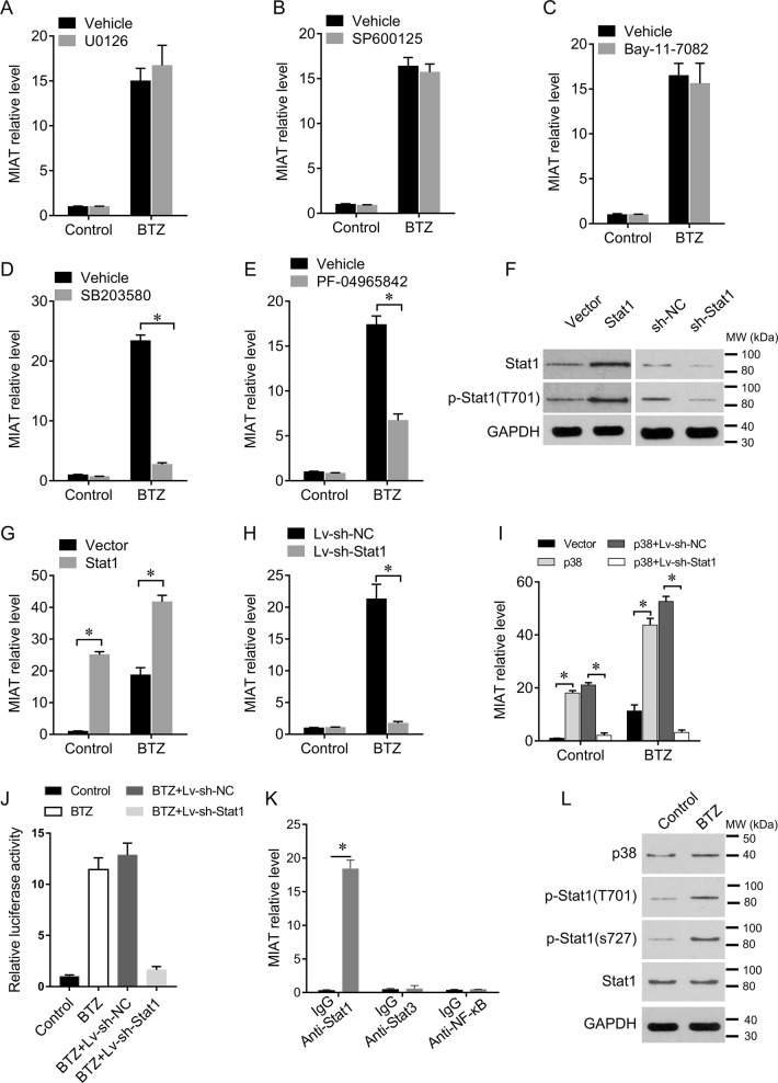 BTZ upregulates MIAT in MM cells via p38-Stat1 signaling. a–e U266 cells were pretreated with the selective pharmacological inhibitors U0126 (ERK, 50 μM), SP600125 (JNK, 50 μM), Bay-11-7082 (NF-κB, 10 μM), SB203580 (p38, 50 μM), or PF-04965842 (Jak1, 50 nM), and were then treated with BTZ at 40 nM for 12 h. MIAT expression levels were determined using qRT-PCR. f Western blotting analyses of Stat1 and phosphorylated Stat1 after overexpression or knockdown in U266 cells. g Effects of Stat1 overexpression on MIAT expression in U266 cells. h Effects of Stat1 knockdown on MIAT expression in U266 cells. i Effects of p38 overexpression on MIAT expression in U266 cells pretreated with sh-NC or sh-Stat1. j Luciferase reporter constructs containing the MIAT promoter were co-transfected into U266 cells with the internal control plasmid pRL-TK, and with sh-NC or sh-Stat1, and were then subjected to BTZ challenge (40 nM, 12 h). Relative luciferase activities are expressed as percentages of those in the control group. k Cell lysates from U266 cells were used for RIP with antibodies against stat1, stat3, or NF-κB. MIAT expression levels were detected using qRT-PCR. IgG was used as a negative control. l BTZ induced Stat1 phosphorylation; data are presented as means ± standard errors of the mean from three independent experiments; * P
