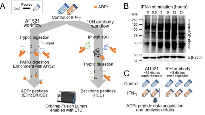 ADP-ribosylation increases during IFN-γ-induced pro-inflammatory activation of macrophages. (A) Two independent strategies, Af1521 and 10H antibody workflows, for ADP-ribosylation proteomics. (B) Antipan ADP-ribose Western blot analysis of IFN-γ-treated THP-1 cells over 24 h. (C) IFN-γ activation replicates: two sets (control or IFN-γ) of macrophage activation were used for the Af1521 workflow, and three sets were used for the 10H antibody workflow. Details about ADPr peptide data acquisition and analysis are highlighted using the second Af1521 replicate of IFN-γ-treated THP-1 cells.