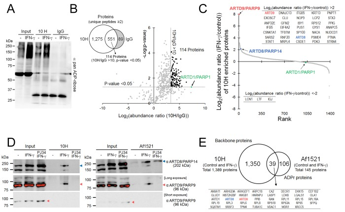 IFN-γ increased ARTD8/PARP14 and ARTD9/PARP9 ADP-ribosylation. (A) A pan ADP-ribose Western blot analysis of control and IFN-γ-treated THP-1 cells after 10H IP or incubation with IgG. (B) A comparison of enriched proteins using a Venn diagram between 10H and IgG. The plot showing the log 2 (abundance ratio (10H/IgG)) and −log( p -value) of 551 shared proteins (Venn diagram). 114 proteins passed the threshold of abundance ratio (10H/IgG) > 10-fold and p -value