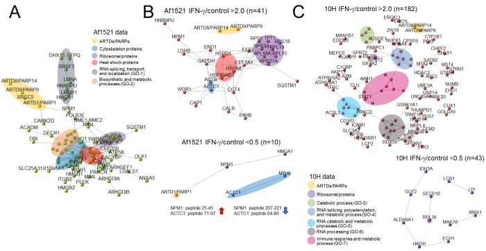 Protein–protein interactions (PPI) in IFN-γ-induced ADP-ribosylome on THP-1 cells. (A) A PPI network mapping all 145 ADPr proteins from Af1521 data and visualizing their interactions (confidence interaction scores ≥700). ADPr proteins with at least one interaction with another ADPr proteins are shown. Selected GO biological processes (GO-1 to GO-7 below) from the extended list in Table S4 . (B) PPI networks of 2-fold increased or decreased ADPr proteins in the IFN-γ compared to control. (C) PPI networks from a subset of 2-fold increasing or decreasing enriched proteins using the 10H workflow in response to IFN-γ stimulation.
