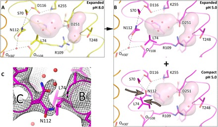 <t>Schiff</t> base region structures in pentameric KR2 at different pH. ( A ) Detailed view of the <t>RSB</t> region of KR2 at pH 8.0 (yellow). Hydrogen bonds, stabilizing the expanded conformation, are shown as black dashed lines. ( B ) Detailed view of the RSB region of KR2 at pH 5.0 (magenta). The two parts show expanded and compact conformations, which coexist in KR2 at pH 5.0. Arrows show the important displacement of the Asn 112 -Leu 74 pair. Helix A′ of nearby protomer is shown in orange. Helices A and B are not shown. The cavities are colored pink. Hydrogen bonds, stabilizing the compact conformation, are shown as black dashed lines. ( C ) 2F o -F c electron density maps of the double conformation of the Asn 112 -Leu 74 pair in the KR2 model at pH 5.0. The maps are contoured at the level of 1.0σ.