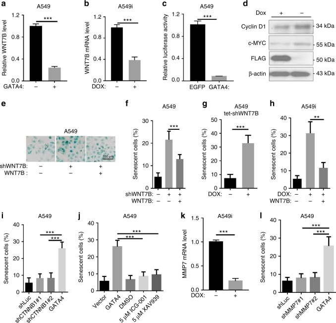 GATA4 induces lung cancer cell senescence by downregulating WNT7B. a and b WNT7B expression level in A549 cells ectopically expressing GATA4 through lentivirus infection ( a ) or Doxycycline treatment of A549i cells ( b ) ( n = 3 per group). c TOP-FLASH analysis of GATA4 expressing A549 cells ( n = 6 per group). d Western blot analysis of c-Myc and cyclin D1 in A549i cells in the absence or presence of 2 μg/mL of Dox. e β-Galactosidase staining of A549 cells expressing WNT7B targeting shRNA (middle panel) and rescued by shRNA-resistant WNT7B (right panel) (scale bar 100 μm). f Statistics of e ( n = 3 per group). g β-Galactosidase staining of A549 expressing Dox-inducible shRNA targeting WNT7B (A549 tet-shWNT7B) in the absence or presence of 2 μg/mL of Dox ( n = 3 per group). h β-Galactosidase staining of A549i in the absence or presence of 2 μg/mL of Dox and rescued by Wnt-7b expression ( n = 3 per group). i Impact of shRNA targeting CTNNB1 mRNA on induction of senescence in A549 cells ( n = 3 per group). j β-Galactosidase staining of A549 cells treated with ICG-001 and XAV939 at indicated concentration ( n = 3 per group). k qRT-PCR analysis of MMP7 expression of in A549i cells in the absence or presence of 2 μg/mL of Dox ( n = 3 per group). l β-Galactosidase staining of A549 cells knockdown with shRNA targeting MMP7 mRNA ( n = 3 per group). Bars are represented as mean ± SEM of the indicated number ( n ) of repeats. *P