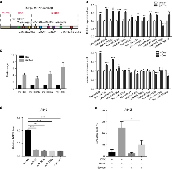 <t>GATA4</t> downregulates the TGFB2 mRNA level through multiple miRNAs. a Schematics of targeting sites on TGFB2 mRNA recognized by 14 miRNAs. b Relative expression level of miRNAs before and after GATA4 overexpression in A549i (through 2 μg/mL of Dox treatment) and A549 cells (through lentivirus infection) ( n = 3 per group). c qPCR analysis of promoter fragment of designated gene from DNA samples prepared from control IgG or anti-FLAG (for pulldown GATA4) DNA samples. Quantity of GATA4 bond DNA was normalized by the value in control IgG-treated samples ( n = 3 per group). d TGFB2 mRNA level in A549 cells overexpressing miR-32, miR-301b, miR-320A, or miR-590, respectively ( n = 3 per group). e β-Galactosidase signal in GATA4 overexpressing A549 cells in the absence or presence of microRNA sponge ( n = 3 per group). Bars are represented as mean ± SEM of the indicated number ( n ) of repeats. *P