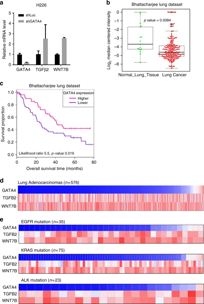 The GATA4-TGF-β2-Wnt-7b signaling axis is clinically relevant. a qRT-PCR analysis of TGFB2 and WNT7B expression level in H226 cell line with GATA4 knockdown ( n = 3 per group). b GATA4 expression level in lung cancer samples and normal lung tissues. c Kaplan–Meier survival curve of GATA4-high and GATA4-low lung cancer patients (Cox log-rank test, p = 0.019). d Reverse correlation of expression level of GATA4 versus TGF-β2 and Wnt-7b in clinical lung cancer samples downloaded from TCGA. e Expression pattern of GATA4 versus TGF-β2 and Wnt-7b in driver mutation positive samples. EGFR mutation positive: Upper panel; Kras mutation positive: middle panel; EML4-ALK mutation positive: lower panel