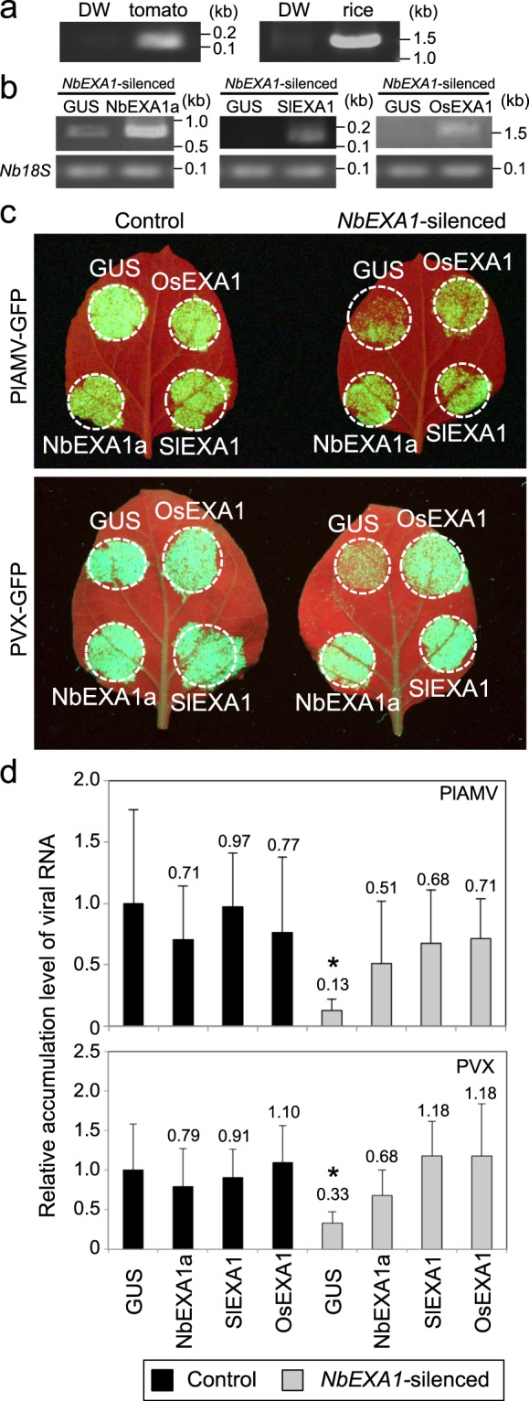 EXA1 homologs in tomato and rice complement the role of EXA1 in infection by PlAMV and PVX. ( a ) Expression analysis of SlEXA1 and OsEXA1 using RT-PCR in tomato and rice plants. Total RNA was extracted from tomato and rice leaves. DW: distilled water. ( b ) The accumulation of NbEXA1a , SlEXA1 , and OsEXA1 transcripts in N . benthamiana leaves inoculated with Agrobacterium carrying a plasmid encoding the genomic sequence of each EXA1 homolog and GUS . Nb18S was used as the internal control. ( c ) Functional complementation analysis of PlAMV-GFP (upper) and PVX-GFP (bottom) infection by the transient expression of NbEXA1a , SlEXA1 , or OsEXA1 in NbEXA1 -silenced (right) and control (left) plants. Accumulation of PlAMV-GFP or PVX-GFP co-expressed with each EXA1 homolog and GUS was observed under UV light at 4 dpi. ( d ) Quantification of the accumulation of PlAMV-GFP and PVX-GFP RNA in NbEXA1 -silenced and control plants using qRT-PCR. Total RNA extracted from the inoculated leaves at 4 dpi. Error bars represent SD of six (PlAMV-GFP) and three (PVX-GFP) samples. The mean level of viral RNA in control plants expressed with GUS was used as the standard (1.0), and scores for other conditions are shown above the bars. * P