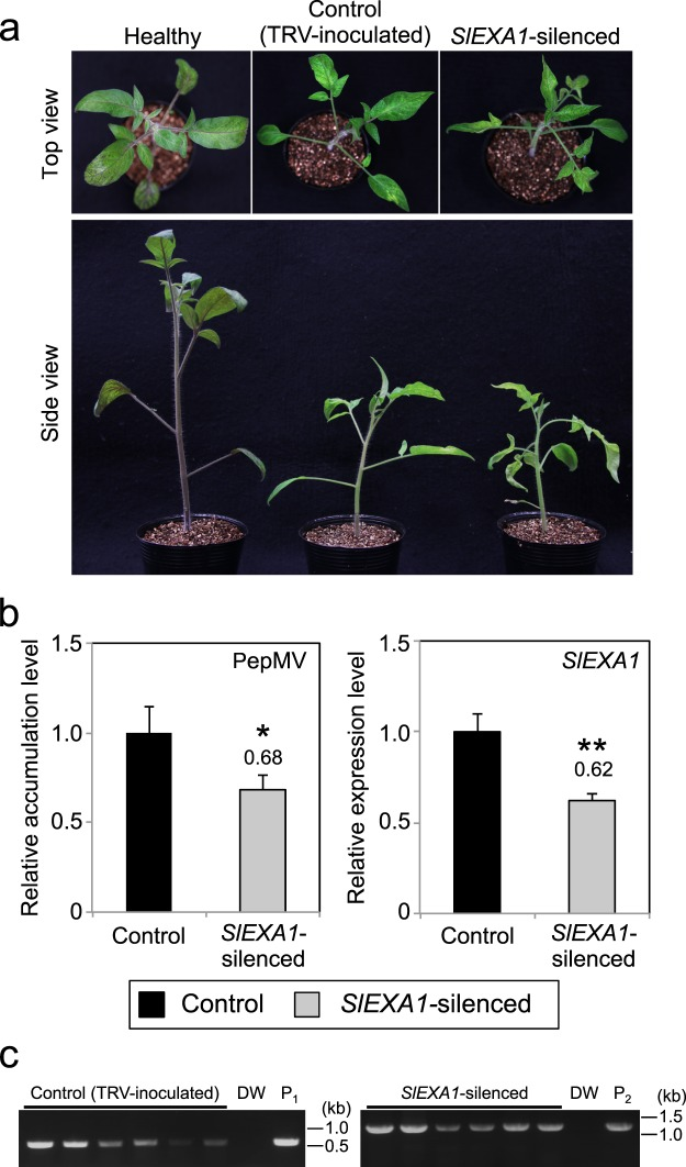 Downregulation of SlEXA1 expression inhibits PepMV RNA accumulation in tomato. ( a ) Morphological phenotypes of control and SlEXA1 -silenced plants. Tomato seedlings were inoculated with TRV (control) and TRV- SlEXA1 ( SlEXA1 -silenced) by agroinfiltration. Photographs were taken from the top (upper) and side (bottom) of plants at 4 weeks post-inoculation. Un-inoculated healthy plants served as visual controls. ( b ) Quantification of the accumulation of PepMV RNA and SlEXA1 mRNA in control and SlEXA1 -silenced plants using qRT-PCR. Six control plants and six SlEXA1 -silenced plants were mechanically inoculated with PepMV. Total RNA extracted from PepMV-inoculated leaves at 5 dpi served as templates for qRT-PCR analysis of PepMV RNA and SlEXA1 mRNA. Error bars represent the standard error (SE) of six samples. The mean level of viral RNA or SlEXA1 mRNA in control plants was used as the standard (1.0), and scores for other conditions are shown above the bars. * P