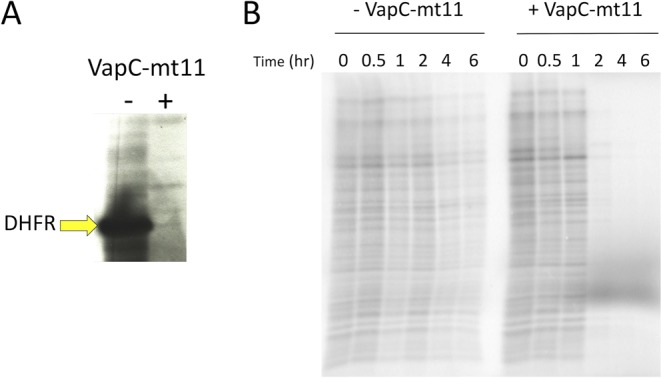 VapC-mt11 inhibits translation in vitro and in M. smegmatis . ( A ) The PURExpress translation reaction was incubated with (+) or without (−) VapC-mt11. Production of the control DHFR template was assayed (yellow arrow). Uncropped image shown in Supplementary Information Fig. 1 ( B ) [ 35 S]-Methionine incorporation in M. smegmatis mc 2 155 cells grown to exponential phase and split into uninduced (−VapC-mt11) and induced (+VapC-mt11) cultures. Cell aliquots were collected for up to 6 h post induction. Equivalent amounts of cell lysate (resuspended in appropriate Laemmli buffer volumes to normalize for differences in OD 600 ) were subjected to SDS-PAGE and visualized on a phosphorimager. Uncropped image shown in Supplementary Information Fig. 1 .