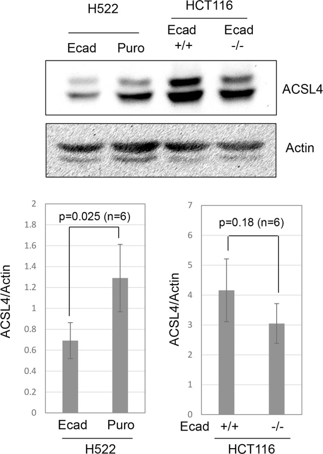 Modulation of ACSL4 levels by E-cadherin. Western blotting was used to measure ACSL4 in the indicated cell lines. Actin was used a loading control and the average ratio of ACSL4/Actin from 6 separate experiments is shown (4 independent lysates).