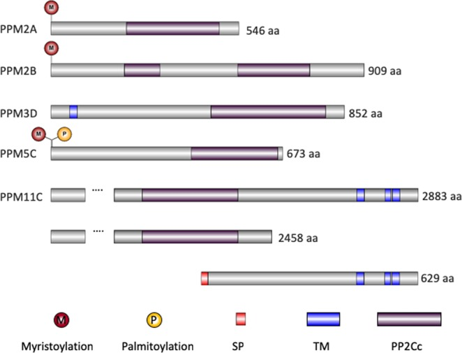 Schematic of five putative membrane associated protein phosphatases. Predicted functional domains and protein modification sites are shown for PPM2A (TGGT1_232340), PPM2B (TGGT1_267100), PPM3D (TGGT1_202610), PPM5C (TGGT1_281580), PPM11C (TGGT1_304955). Below PPM11C are the two putative proteins encoded genomic locus of TGGT1_304955. M, myristoylation; P, palmitoylation; SP, signal peptide; TM, transmembrane domain; PP2Cc, PP2C phosphatase catalytic domain.