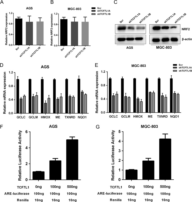 TCF7L1 positively regulates NRF2 at protein level and NRF2 downstream transcription program NRF2 is an important regulator of glycolysis and intracellular redox balance, thus we measured the impact of TCF7L1 on NRF2 expression. (A,B) Silencing of TCF7L1 expression had slight impact on NRF2 transcription. (C) NRF2 protein level was decreased in TCF7L1-silenced AGS and MGC-803 cells. (D,E) Silencing of TCF7L1 expression decreased the transcription of NRF2-targeted antioxidant genes, including GCLC , GCLM , HMOX , ME , TXNRD , and NQO1 . (F,G) NRF2 transcription activity was measured by ARE-luciferase activity assay. TCF7L1 increased ARE-luciferase activity in a dose-dependent manner.