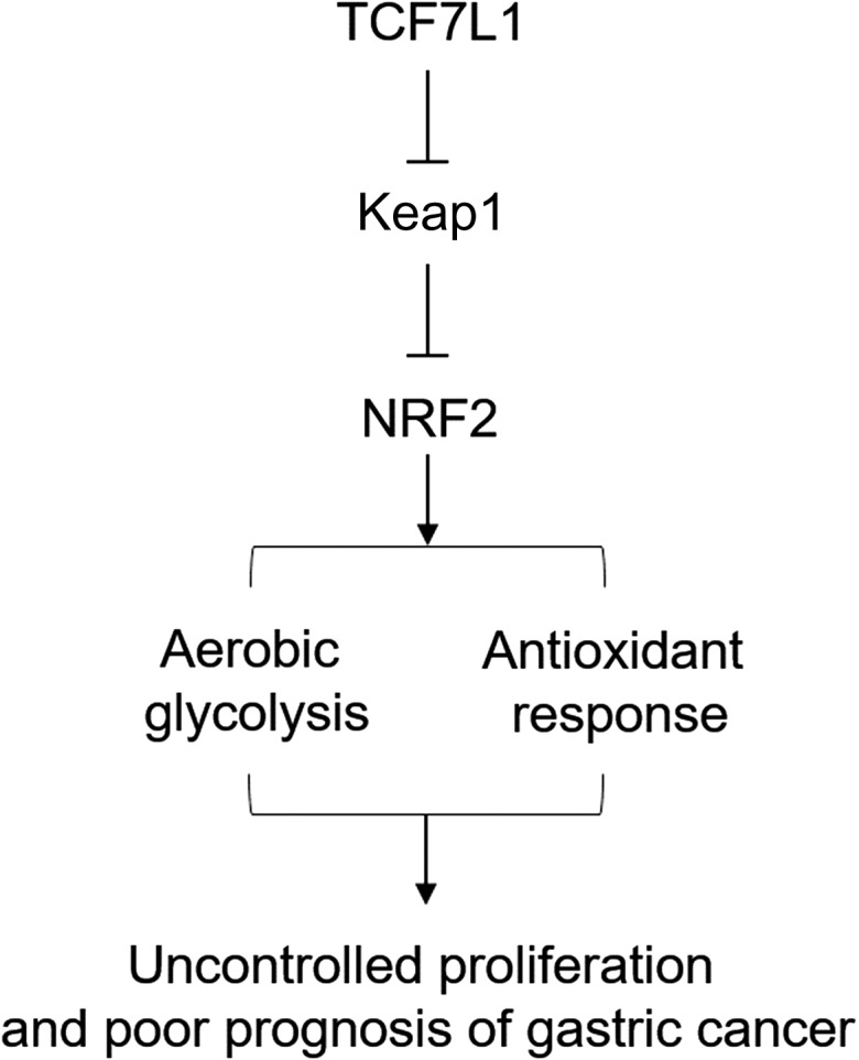 Schematic representation of the working model In gastric cancer, TCF7L1 inhibits Keap1 expression, leading to enhanced NRF2 expression and constitutive activation of glycolysis and the antioxidant response, which ultimately contributes to uncontrolled proliferation of gastric cancer cells and poor prognosis in gastric cancer patients.