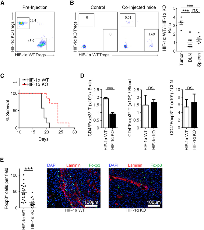 Conditional Knockout of HIF-1α in Foxp3 + T Cells Inhibits Migration of Tregs to Brain Tumors In Vivo (A) To test Treg migration in vivo , splenic-sorted and expanded Tregs were co-labeled with eFluor 450 (HIF-1α WT) and eFluor 670 (HIF-1α KO) cell proliferation dyes and injected i.v. at a 1:1 ratio into mice harboring GL-261. (B) After 48 h, the brain, spleen, and DLN of mice injected with Tregs were isolated, and the ratio of control to HIF-1α KO Tregs was determined. (C) HIF-1α WT or HIF-1α KO mice were implanted with 4 × 10 5 GL-261 astrocytoma cells, and overall survival was determined. (D) After 2 weeks of tumor growth, Treg abundance was analyzed via flow cytometry. (E) Abundance of Foxp3 + cells from tumor-bearing mice was quantified in tissue sections. Kaplan-Meier curves are n = 7 per group from two independent experiments, and significance was calculated using log-rank analysis. Flow cytometry statistics shown as percent positive population ± SEM; n = 5 per group, representative of two experiments. In (B), the ratios of WT/HIF-1α KO Tregs were indicated as mean ± SEM. In (E), 3–5 fields per section were quantified for Foxp3 + DAPI + nuclei. n = 3 mice per group. Unpaired t test analysis was used to calculate significance. *p