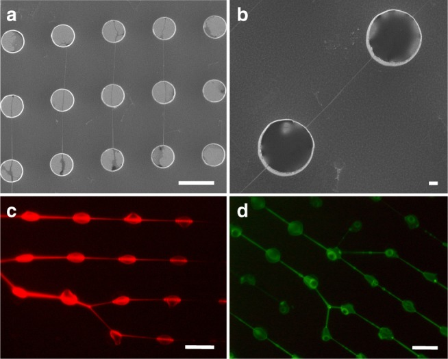 SEM and fluorescence microscope images of intercalated DNA. After the complete evaporation of the solvent ( a ), DNA bundles can be imaged by SEM: they are homogeneously suspended and distributed between silicon micro-pillars. In ( b ), a particular of a suspended DNA bundle, covering the pillar–pillar distance of 12 μm. DNA/intercalator optical images acquired using an excitation of ( c ) 540/25 nm (DM 565, BA 605/55) for the GelRed evaluation and of ( d ) 465–495 nm as in the case of YOYO-1. The scale bars correspond to 10 μm, except for ( b ) which corresponds to 1 μm