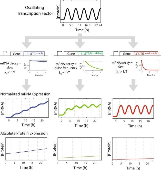 An oscillating transcription factor generates distinct output expression dynamics as a function of mRNA decay rates. A model predicts that distinct mRNA and protein expression dynamics can be generated by altering the transcript stability of target genes induced by an oscillating transcription factor. 3′-UTRs can confer different transcript stabilities. Based on the relationship between the transcript decay rate and the oscillator frequency, output gene transcripts will have rising, weakly pulsing, or strongly pulsing mRNA expression dynamics, leading to alterations in the rate of accumulation of an output protein product.