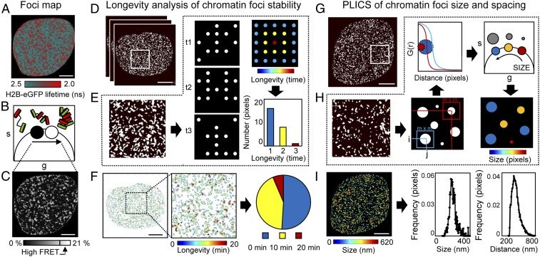 ICS applied to a phasor FLIM-FRET map measures nuclear-wide compact chromatin stability, size, and spacing. ( A – C ) Foci map. ( A ) FLIM-FRET map from an unirradiated HeLa H2B-2FP nucleus. ( B and C ) Pixel coordinates of the high FRET state (16–21% FRET) can be extracted from the phasor plot ( B ) to produce a localization map of compact chromatin ( C ). ( D – F ) Longevity analysis. ( D ) Localization map of compacted chromatin from the HeLa H2B-2FP cell in A at 0, 10, and 20 min (as detected by FRET). ( E ) Schematic of longevity analysis: Averaging three binary images gives rise to a heat map of pixel longevity, which contains structural information that is not evident in the source images and can be used to quantify the stability of detected structures. ( F ) Longevity map of the compacted chromatin foci detected and tracked in D , with digital enlargement shown for a ROI that contains foci present for 10 min (green pixels) and 20 min (red pixels). The fraction of foci persistence across the time course is calculated as a measure of overall chromatin network stability. ( G – I ) PLICS analysis. ( G ) A localization map of compacted chromatin from an unirradiated HeLa H2B-2FP nucleus as detected by FLIM-FRET. ( H ) Schematic of PLICS analysis: In a binary image showing different-sized structures, we can calculate localized 2D spatial correlation functions using an m × m matrix and by collapsing them into 1D correlation profiles. The resulting decay is characteristic of the size of a structure within each m × m matrix. By transforming each decay into phasor coordinates ( g , s ), we can graphically pseudocolor each pixel according to size. ( I ) Size map of compacted chromatin foci detected in G and PLICS/iPLICS analysis of the average size (305 nm) and spacing (485 nm). (Scale bars, 5 μm.)