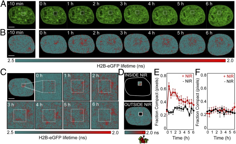 FLIM-FRET analysis of chromatin compaction reveals chromatin architectural changes during the DDR. ( A and B ) Time series of H2B-eGFP fluorescence intensity images ( A ) and lifetime maps ( B ) acquired in a HeLa H2B-2FP 10 min before and at hourly intervals after NIR irradiation. The white square indicates the NIR laser-treated locus. ( C ) Digital enlargement of the DNA damage site selected in B and the corresponding time series of lifetime maps within this ROI. ( D ) Masks selected for analysis of the number of pixels in a compacted (high-FRET) vs. noncompacted (low-FRET) state at the DNA damage site vs. outside this ROI. ( E and F ) Fraction of pixels within ( E ) and outside ( F ) of the NIR-irradiated ROI that are in a compacted state during the DDR (red curve) vs. an unperturbed cell (black curve) ( n = 10 cells, mean ± SEM). (Scale bars, 5 μm.)