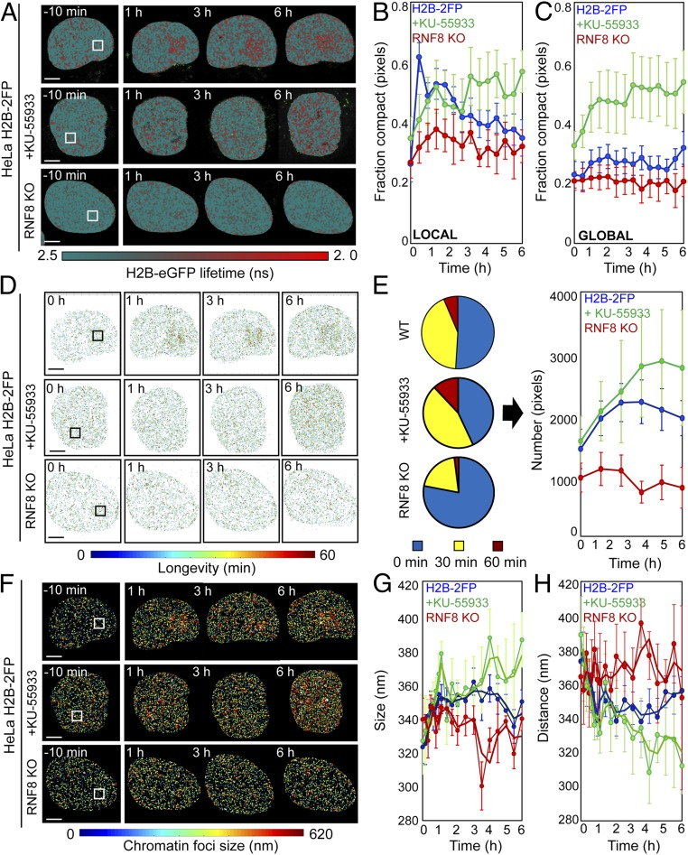 ATM and RNF8 regulate chromatin architecture in the DDR. ( A ) FLIM-FRET maps of HeLa H2B-2FP , HeLa H2B-2FP treated with KU-55933, or HeLa H2B-2FP RNF8 KO cells 10 min before and 1, 3, and 6 h after microirradiation. ( B and C ) Fraction of compacted chromatin pixels within ( B ) and outside ( C ) of the NIR irradiation site in HeLa H2B-2FP (blue curve; n = 10), KU-55933-treated (green curve; n = 6), or RNF8 KO cells (red curve; n = 3; mean ± SEM). ( D ) Longevity maps of compact chromatin foci from the cells in A . ( E ) Quantification of compact chromatin foci stability ( Left ) throughout the DDR ( Right ) in NIR laser-treated HeLa H2B-2FP , KU-55933–treated HeLa H2B-2FP , and HeLa H2B-2FP RNF8 KO cells ( n as indicated above, mean ± SEM). ( F ) Chromatin compaction size map derived by PLICS from the cells shown in A . ( G and H ) Change in the mean size of ( G ) and distance between ( H ) compacted chromatin foci during the DDR in NIR laser-treated HeLa H2B-2FP , KU-55933–treated HeLa H2B-2FP , and HeLa H2B-2FP RNF8 KO cells ( n as indicated above, mean ± SEM). (Scale bars, 5 μm.)