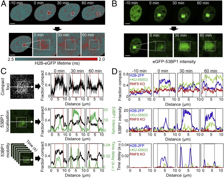 Chromatin architecture demarcates the repair locus. ( A ) FLIM-FRET maps acquired in HeLa <t>H2B-2FP</t> cells 10 min before and 0, 30, and 60 min after microirradiation ( Upper ) and expanded images of the DSB ROI ( Lower ). ( B ) <t>eGFP-53BP1</t> intensity images acquired in HeLa cells 10 min before and 0, 30, and 60 min after microirradiation ( Upper ) and expanded images of the DSB ROI ( Lower ). ( C ) Correlation of compact chromatin foci localization along the horizontal axis as a function of time ( Top ; image from 0 min is shown), with 53BP1 localization ( Middle ; image from 0 min is shown), and mobility in terms of time delay ( Bottom ). eGFP-53BP1 localization and mobility are averaged along the horizontal axes (green plots). Red dashed box indicates laser microirradiation ROI. ( D ) Comparison of compact chromatin foci localization ( Top ), eGFP-53BP1 localization ( Middle ), and eGFP-53BP1 mobility ( Bottom ) in untreated HeLa cells (blue curve), KU-55933–treated HeLa cells (green curve), or RNF8 KO cells (red curve) 10 min before and 0, 30, and 60 min after microirradiation. Representative example of n = 3 shown. (Scale bars, 5 μm.)