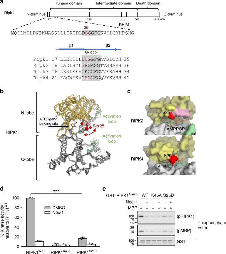 Phospho-Ser25 directly inhibits RIPK1 catalytic activity. a Schematic representation of mouse RIPK1 primary structure and excerpts from structure-based sequence alignments for murine RIPK1–4 (Uniprot sequences Q60855, P58801, Q9QZL0, Q9ERK0) focusing on the region of Ser25. b Ser25 localizes in the flexible Glycine-rich loop covering the RIPK1 nucleotide binding site. Structural overlays were carried out with respect to the C-lobe of RIPK1 in complex with necrostatin-4 (pdb entry 4ITJ) and employed all available RIPK1 kinase domain structures (pdb entries 4ITH, 4ITI, 4NEU, 5HX6, 5TX5, 4M66, 4M69). The red spheres correspond to the C-alpha positions of Ser25 in the different structures. The structurally ordered parts the activation loop are drawn in green. The intervening portion of the activation loop is disordered in all crystal structures of RIPK1 to date. c Structures of human RIPK2 in complex with the non-hydrolyzable ATP analog AMP-PCP and RIPK4 in complex with ATP. d , e In vitro kinase assays using recombinant truncated RIPK1 mutants (AA 1–479). d Quantitative kinase activity measured by ATP consumption using the ADP-Glo kinase assay. Results are presented as a percentage relative to the kinase activity in the wild-type protein and is the mean ± SEM of three independent kinase assays ( n = 3). e Qualitative kinase activity monitored by immunoblot and revealing RIPK1 autophosphorylation and RIPK1-mediated phosphorylation of MBP