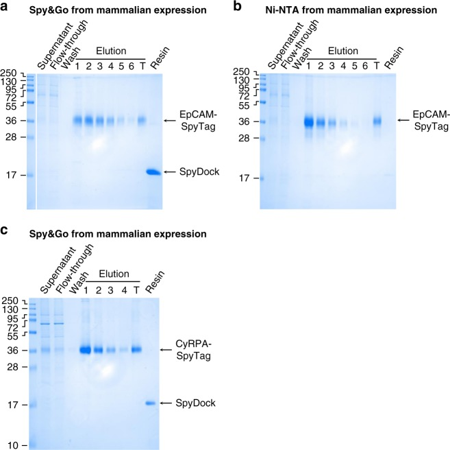 Spy Go from mammalian expression. a HEK293T cells were transfected with the extracellular region of EpCAM fused to SpyTag and a His-tag (EpCAM-SpyTag). EpCAM-SpyTag was purified from the clarified cell supernatant using Spy Go. Fractions were analyzed by <t>SDS-PAGE</t> with Coomassie staining. T: total pooled elutions. Resin: resin post-elution. b Ni-NTA purification of EpCAM-SpyTag as in a . c Spy Go purification of CyRPA-SpyTag from Expi293HEK cells as in a