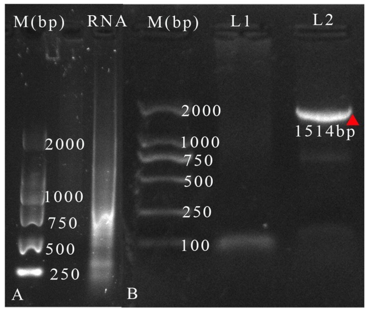 ( A ) Gel electrophoresis of viral RNA, and ( B ) the PCR products obtained from the viral cDNA and distilled water. M: Marker DL 2000 (TransGen Biotech); L1: PCR products with distilled water as template; L2: PCR products with cDNA template. The band was marked with a red triangle.