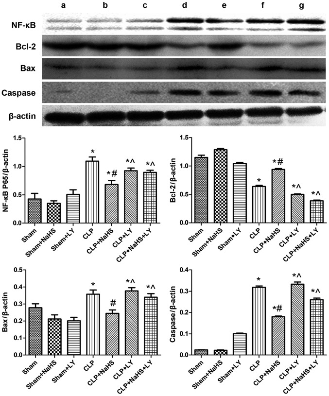 Expression of NF-κB, Bcl-2, Bax and caspase in each group. Representative western blotting images are presented. Lanes: a, Sham; b, sham + NaHS; c, sham + LY; d, CLP; e, CLP + NaHS; f, CLP + LY; g, CLP + NaHS + LY. Quantified data are expressed as the mean ± standard error. *P