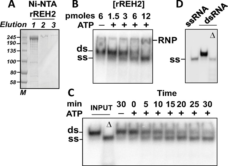 Recombinant rREH2 is a catalytically active RNA helicase. (A) Purified rREH2[30–2167] samples in a denaturing gel stained with Coomassie. NTA-Ni elution fractions 1-to-3 are shown with molecular size markers (kDa). (B) Unwinding assays in 10 μL reaction mixtures with increasing concentrations of rREH2[30–2167] +/- ATP. An RNP complex (RNP) forms at the highest enzyme concentration tested; (C) Unwinding assays at increasing incubation times with rREH2[30–2167] +/- ATP using the standard reaction mixture described in the material and methods section. The standard reaction used a molar excess of enzyme over substrate. The dsRNA (ds) was assembled by pre-annealing of synthetic transcript that mimics a 3' fragment of the T . brucei A6 pre-edited mRNA and a radiolabeled cognate guide RNA [ 27 ]. Radiolabeled unwound ssRNA (ss) is indicated. Input dsRNA was heat denatured (Δ) as control. The assays in this panel were treated with proteinase K to remove any RNP that may accumulate (see methods ). (D) Additional controls showing that the starting radiolabeled ssRNA used to generate the dsRNA substrate in the assay and the unwound radiolabeled ssRNA in the heat-denatured (Δ) dsRNA (in panel C) have the same gel mobility.