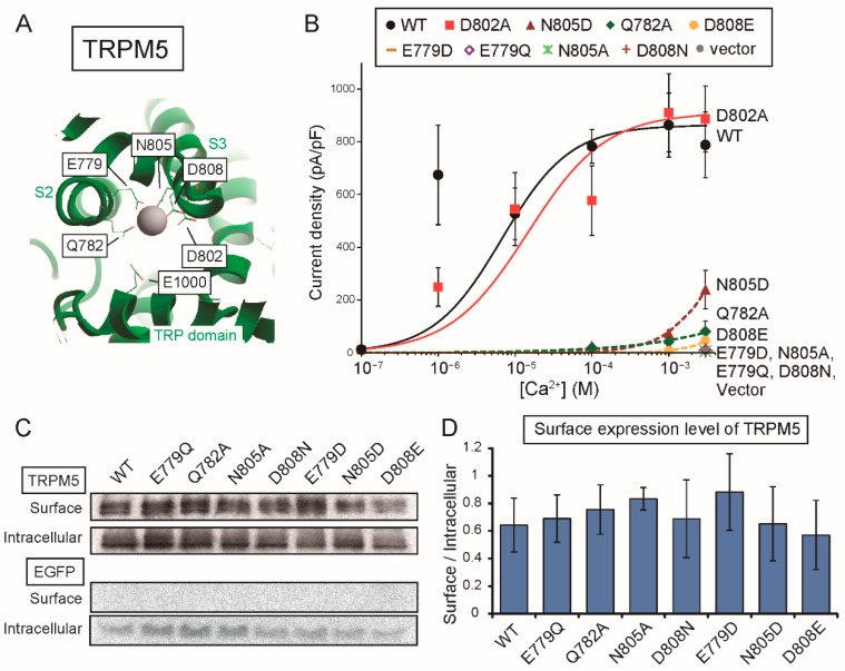The amino acid residues of TRPM5 corresponding to those forming the Ca 2+ -binding site of TRPM4 were also necessary for the normal Ca 2+ -sensitivity of rTRPM5. ( A ) Numbers of corresponding amino acids of rTRPM5 are labeled in the illustration of the Ca 2+ -binding site of hTRPM4. ( B ) CRCs for the effect of Ca 2+ on the current densities mediated by WT rTRPM5 (black circles), D802A (red squares), N805D (dark red triangles), Q782A (green diamonds), D808E (dark yellow circles), E779D (dark yellow horizontal bars), E779Q (purple open diamonds), N805A (light green asterisks), D808N (brown crosses) and the empty vector (gray circles) ( n = 3 or 4 each). ( C ) A result of surface biotinylation assay. The proteins of rTRPM5 expressed in the plasma membrane were biotinylated and precipitated with <t>streptavidin</t> beads (Surface). Non-precipitated fractions contain intracellular proteins (Intracellular). ( D ) Signal ratios of the surface rTRPM5 to the intracellular rTRPM5 as an indication of the surface expression levels of rTRPM5. The mutants showed similar surface expression levels to WT rTRPM5 ( n = 3).