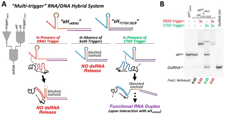 Multi-trigger systems can be composed in which each RNA/DNA hybrid contains a responsive DNA structural element. ( A ) A system comprising a 3-input AND gate and a NOT gate can be constructed by pairing sH ^CTGF.20/8 (activated by the connective tissue growth factor (CTGF) derived trigger) with aH ∨ KRAS (repressed by the Kirsten rat sarcoma proto-oncogene (KRAS) mRNA derived trigger). Co-incubation of the two hybrids results in no interaction. Both hybrids and the CTGF trigger are required for dsRNA release, while the presence of the KRAS trigger will inhibit strand exchange. ( B ) The multi-trigger system was assessed by 10% acrylamide non-denaturing PAGE. The fraction of DsiRNA released is indicated in the gel depicted, in the presence of indicated trigger combinations following 30 min incubation at 37 °C. The sH and aH hybrid were present at equimolar concentration, while the triggers were added at a 2-fold or 3-fold excess, as indicated. In samples when both triggers are present, they were added to premixed hybrids sequentially (KRAS followed by CTGF). The antisense hybrid and DsiRNA control in were assembled using a 5′-AlexaFluor546 labeled antisense RNA strand for the purpose of visualization and quantification.