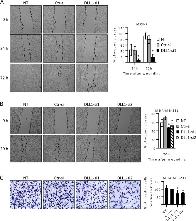 <t>DLL1</t> downregulation decreases migration of MCF-7 and MDA-MB-231 cells and the invasive potential of MDA-MB-231 cells. MCF-7 and MDA-MB-231 cells were transiently transfected with DLL1 siRNAs (DLL1-si1/2), negative control siRNA (Ctr-si) or not-transfected (NT) as indicated. (A-B) At 55–70 hours after transfection, cells at 80–90% confluency were scratched, and wound closure was evaluated by microscopy at various time points. Representative images taken at the indicated times post-wounding from three independent experiments are shown. The graph represents mean percentage values (+ SD) of wound closure at each analyzed time point from scratches of these assays. (C) MDA-MB-231 cells were collected 72 hours after transfection and equal cell numbers were added to the upper chamber of 8-μm-pore membranes coated with matrigel and their invasion was measured. Representative fields of crystal-violet-stained cells that invaded to the lower surface of the membranes are shown in each condition. The graphs show mean percentage values (± SD) of invading cells of three independent experiments. *, P