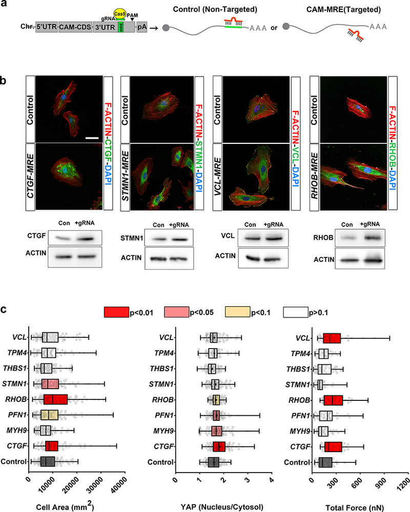 Post-transcriptional regulation of individual CAM genes limits ECs spreading, YAP signaling and/or contractility. ( a ) Experimental strategy to mutate individual MREs in CAM genes' 3'UTRs to block miRNA binding ( Methods and Supplementary Fig. 2b ). ( b ) Representative immunofluorescence images (top, scale bar = 50μm) and Western blot (bottom) of CAM proteins as indicated (CTGF ~37 kDa, STMN1 ~19kDa, VCL ~116kDa, RHOB ~25kDa, Actin ~47kDa). HUVECs were infected with lentivirus carrying Cas9 and gRNA targeting specific CAM MREs and no-target gRNA ( a ) and processed at 7 days post infection. ( b ) Quantification of cell spreading (n=99, 75, 91, 94, 88, 87, 79, 54, 83 from bottom to top, representative data from two independent experiments), YAP nuclear translocation (n=91, 81, 87, 93, 79, 88, 67, 54, 84 cells from bottom to top, representative data from two independent experiments) and total force per cell (n= 38, 33, 37, 36, 34, 34, 34, 30, 36 cells from bottom to top, from two independent experiments) in HUVECs on 3 kPa PDMS gels for 48 h after mutation of the indicated MREs (all box plots indicate the minimum, maximum, median and quartiles, single dots represent single cell, colors represent p values, one-way ANOVA with fishers LSD). Source data can be found in Supplemental Table 8 .