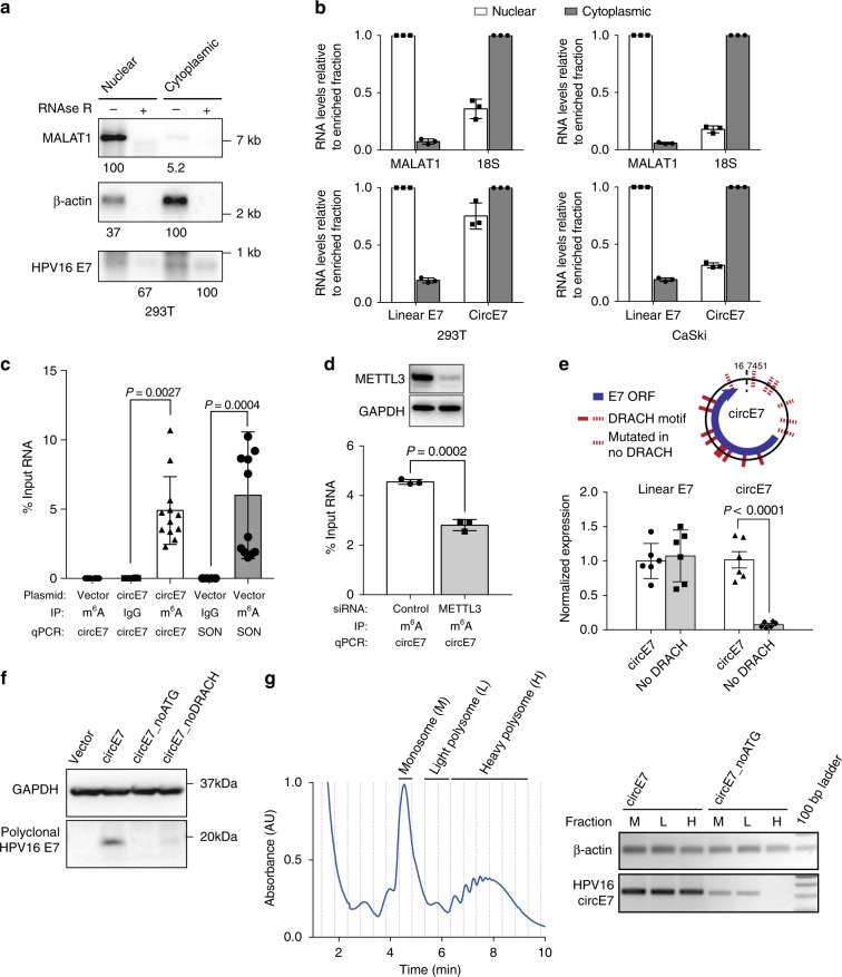 Characterization of circE7. a CircE7-transfected cells were fractionated and indicated fractions analyzed by northern blot. Total RNA (4 μg) with mock or RNase R treatment of fractions from 293 T cells confirms that circE7 is enriched in the cytoplasm and is RNase R-resistant. MALAT1 and β-actin, fractionation controls. Band density (bottom) quantitated after normalization to the enriched fraction. Results are representative of 3 independent blots. b CircE7-transfected 293T (left) or untransfected CaSki (right) were fractionated and analyzed by RT-qPCR. MALAT1 and 18 S (top), fractionation controls. Values normalized to the enriched fraction. Results are representative of 3 independent fractionation experiments. c RT-qPCR of RNA IP (m 6 A or IgG control) after transfection with the indicated plasmid (24 h) ( n = 8 biological replicates from 4 transfections). SON, m 6 A RNA IP control. d Western blot for METTL3 from 293T co-transfected with control or METTL3 siRNA and circE7 construct (top). GAPDH, loading control. RT-qPCR of RNA IP (m 6 A or IgG control) from 293 T cells co-transfected with indicated siRNA and circE7 construct. RT-PCR is representative of 4 independent experiments. e Schematic of the DRACH consensus motifs for METTL3/14 and the sites mutated in the circE7_noDRACH construct (top). RT-qPCR for circE7 in cells transfected with the indicated construct. Loss of UTR DRACH motifs in circE7 results in a significant decrease in the abundance of circE7, but not linear E6/E7. ( n = 4 independent experiments). f Western blot for E7 from 293 T transfected with indicated circE7 construct. Data are shown as mean ± s.d. P values (indicated above relevant comparisons) were calculated with one-way analysis of variance (ANOVA) with Holm–Sidak tests. g Representative tracing of circE7-transfected cells after polysome enrichment assay with the monosome (M), light polysome (L), and heavy polysome (H) fractions indicated (left). Dashed lines indicate collected fraction. D